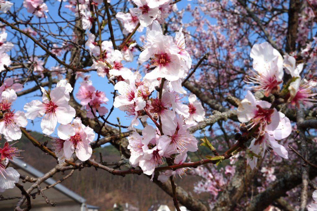 Blüten der Mandelbäume