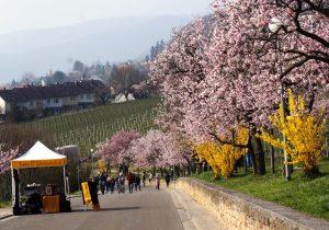 Gimmeldinger Mandelblütenfest